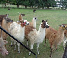 Kreisbereisung und Nutztier-Safari